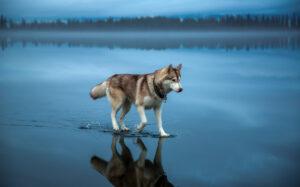 husky walking on water